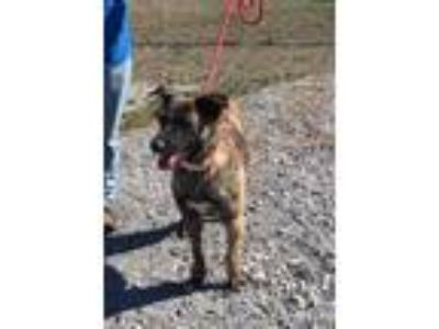 Adopt Brittany a German Shepherd Dog, Mixed Breed