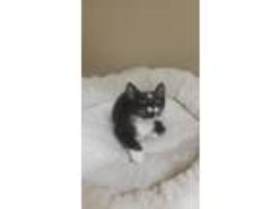 Adopt Bodacious a Black & White or Tuxedo Domestic Shorthair (short coat) cat in