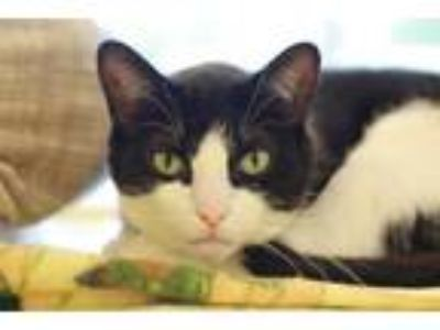 Adopt Fillie a Domestic Short Hair