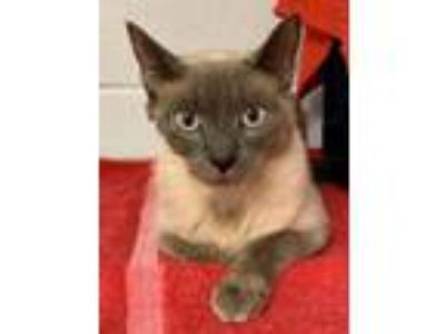 Adopt Nala a Siamese, Domestic Short Hair