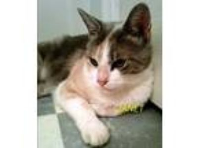 Adopt Janet a Domestic Short Hair