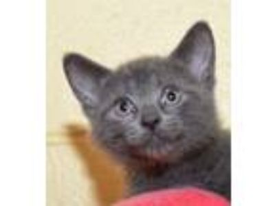 Adopt Sterling a Russian Blue