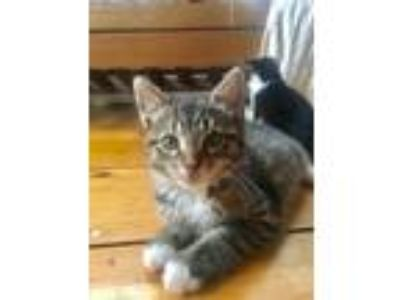 Adopt Smudge Baby a American Shorthair