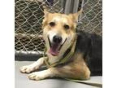Adopt Max a Tan/Yellow/Fawn - with White German Shepherd Dog / Collie / Mixed