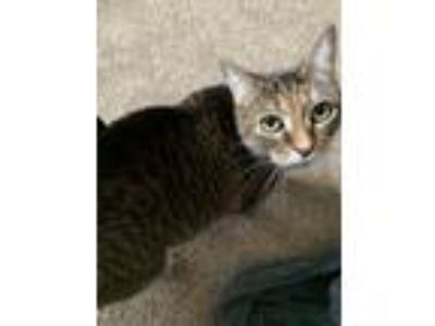 Adopt Spice a Tiger Striped Egyptian Mau cat in Newport, MI (24858704)