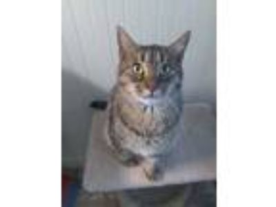Adopt Tigger a Tan or Fawn Tabby American Shorthair (short coat) cat in Big