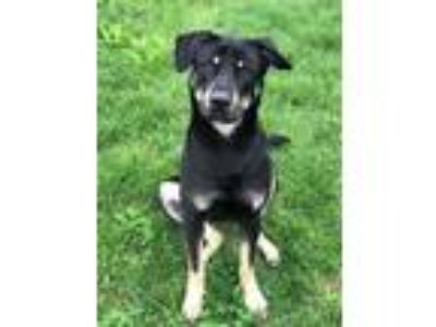 Adopt Kenneth Calm Gentle Boy a Black - with Tan, Yellow or Fawn Rottweiler /
