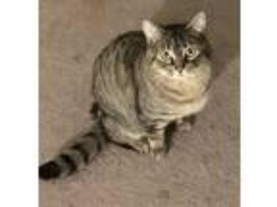 Adopt Louie a Brown Tabby Domestic Shorthair (short coat) cat in Plantsville