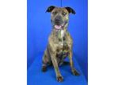 Adopt Gabbie a Brown/Chocolate American Pit Bull Terrier / Mixed dog in Cabot