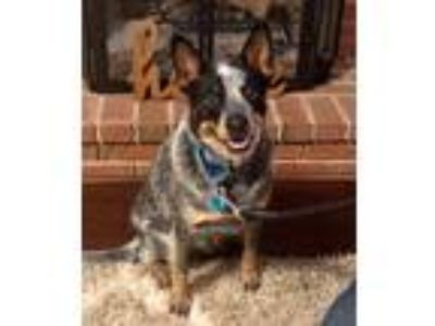 Adopt Higbee a Merle Australian Cattle Dog / Mixed dog in Franklinville