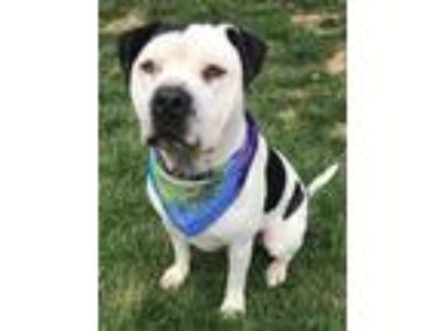 Adopt Toby a Black - with White American Pit Bull Terrier / Mixed dog in