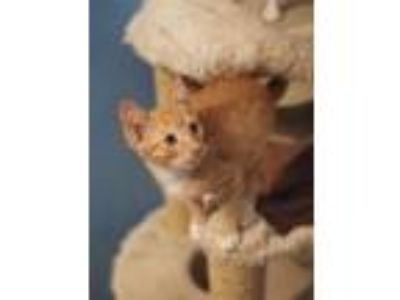 Adopt Brad Kitt a Orange or Red (Mostly) American Shorthair / Mixed (short coat)