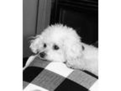 Adopt Percy a White Bichon Frise / Mixed dog in Coralville, IA (26113185)