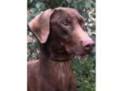 Adopt Boston a Red/Golden/Orange/Chestnut Doberman Pinscher / Mixed dog in Grand