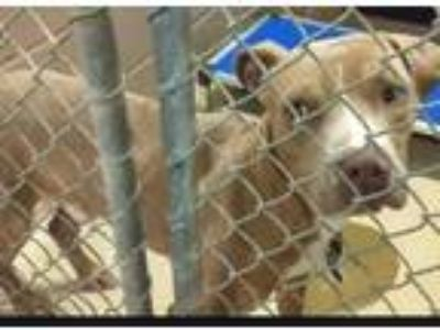 Adopt AMOS a Brown/Chocolate - with White American Pit Bull Terrier / Mixed dog