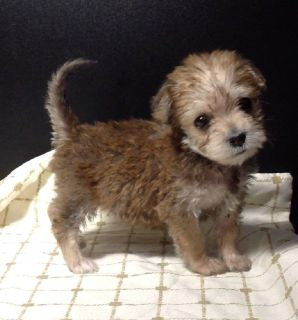 Yorkiebichon puppies 1.8lbs an up Polk County fl