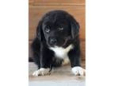 Adopt Bolt a Black - with White Retriever (Unknown Type) / Mixed dog in Waldorf