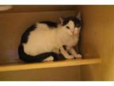 Adopt COWKA a White (Mostly) Domestic Shorthair / Mixed (short coat) cat in