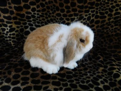 holland lop doe