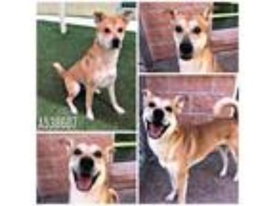 Adopt STANLEY a Tan/Yellow/Fawn - with White Labrador Retriever / Mixed dog in