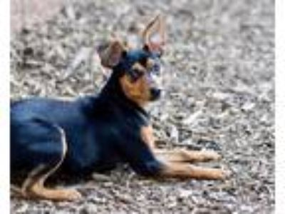 Adopt Marietta a Miniature Pinscher / Mixed dog in Canton, GA (25567966)