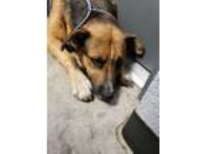 Adopt Rolo a Shepherd, Mixed Breed