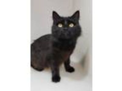 Adopt Major a Domestic Shorthair / Mixed (short coat) cat in Highland Village
