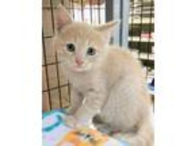 Adopt Butternut a Tan or Fawn Tabby Domestic Shorthair / Mixed cat in Louisa