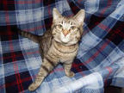 Adopt ATTWELL* a Brown Tabby Domestic Shorthair / Mixed (short coat) cat in