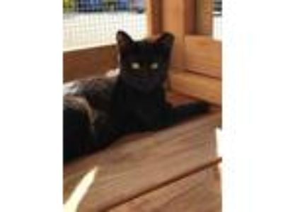 Adopt Hermes a All Black Domestic Shorthair / Domestic Shorthair / Mixed cat in