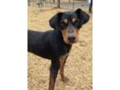 Adopt Ripple a Black - with Tan, Yellow or Fawn Doberman Pinscher / Black and
