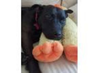 Adopt Misty a Labrador Retriever, Terrier