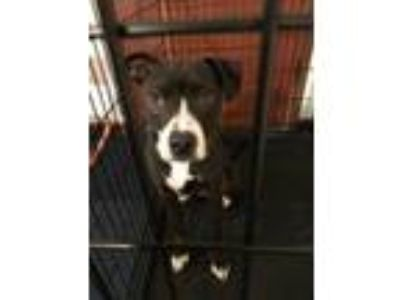 Adopt Skye a Black American Pit Bull Terrier / Mixed dog in Robinson
