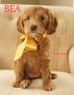 Australian Labradoodle PUPPY FOR SALE ADN-52022 - Australian Labradoodle  All Puppies Adopted