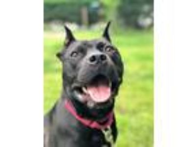 Adopt Onyx Storm a Black Staffordshire Bull Terrier / Mixed dog in Barrington