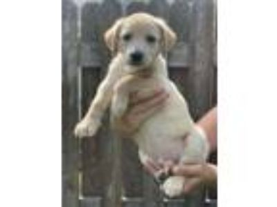 Adopt Cream a Labrador Retriever, Husky