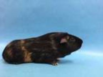 Adopt Riven a Brown or Chocolate Guinea Pig / Mixed small animal in St.