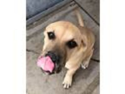 Adopt Mookie a Mastiff / Shepherd (Unknown Type) / Mixed dog in Logan