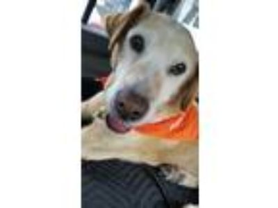 Adopt Gomer a Yellow Labrador Retriever