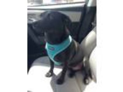 Adopt Picasso a Black Labrador Retriever / Terrier (Unknown Type