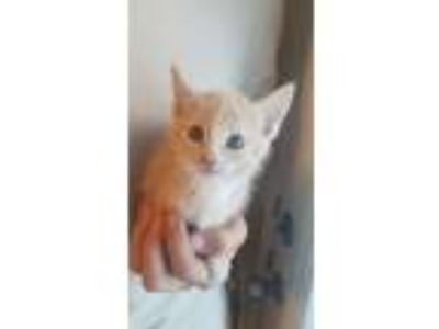 Adopt 7/17/19 DSH Tan Kitten Female a Domestic Short Hair