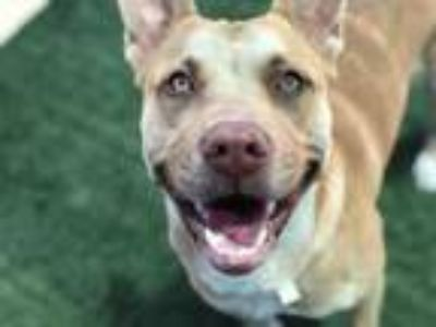 Adopt KOSHO a Pit Bull Terrier, German Shepherd Dog