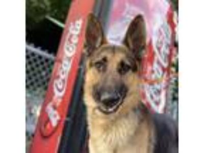 Adopt Bam Bam a German Shepherd Dog