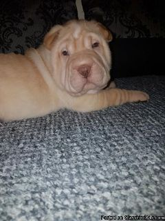 APRICOT DILUTE SHAR PEI PUP
