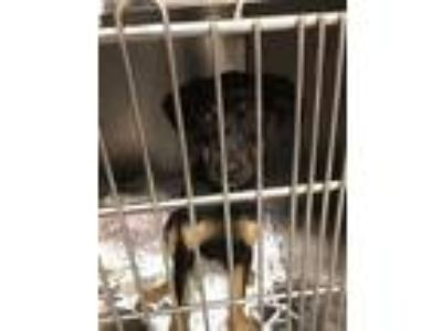 Adopt Alex a Black Plott Hound / Mixed dog in Beaumont, TX (25013223)