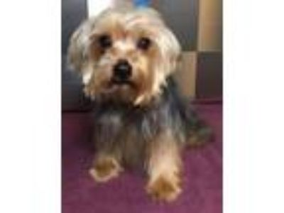 Adopt Dacie SDR in TX a Yorkshire Terrier