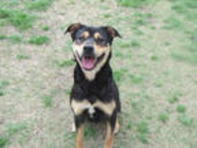 Adopt ANGEL a Black - with Tan, Yellow or Fawn German Shepherd Dog / Mixed dog