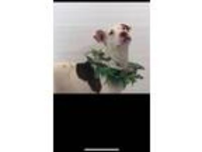 Adopt Marie May a American Staffordshire Terrier, Pit Bull Terrier