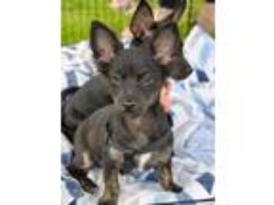 Adopt Zach a Black - with White Miniature Pinscher / Mixed Breed (Small) / Mixed