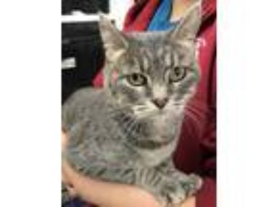 Adopt Tiger a Gray or Blue Domestic Mediumhair / Domestic Shorthair / Mixed cat